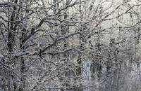 Frosted oak trees