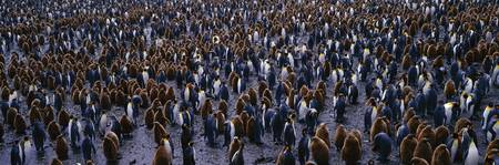 King Penguin Colony Salisbury Plain South Georgia