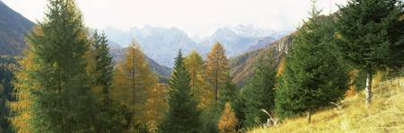 Larch trees with a mountain range in the backgrou
