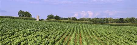 Rows of Tobacco Lancaster County PA