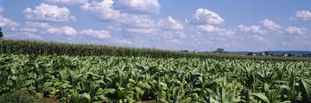 Rows of Tobacco With Corn Lancaster County PA