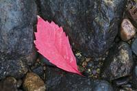 Fallen autumn color virginia creeper leaf on wet