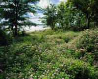 Field of wild clover blooming beside Saylorville