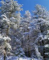 Low angle view of snow-covered conifer trees