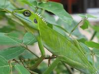 Green Crested Lizard 1