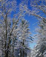 Snow-covered trees against blue sky