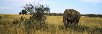 African elephant (Loxodonta africana) standing in