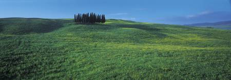 Cypress trees in a field