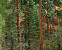 Ponderosa pine trees in Oak Creek Canyon