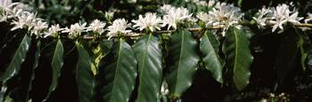 Flowers on coffee plants
