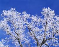 Low angle view of hoarfrost on oak tree branches