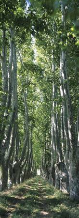 Plane trees in a forest