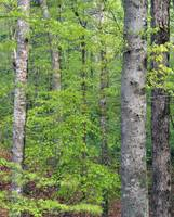 Forest with american beech trees