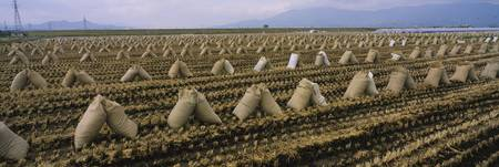 Sacks of rice in a field