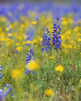 Texas bluebonnet flowers in bloom among yellow wi