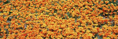 High angle view of California Golden Poppies (Esc