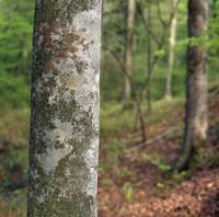 American beech tree trunk
