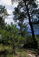 Small sapling and mature ponderosa pine trees
