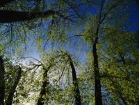 Low angle view of tree canopy in spring