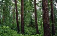 Red pine trees in old-growth forest