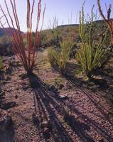 Shadow of an ocotillo plant on a landscape