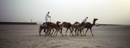 Two men riding camels