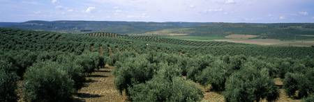 Olive groves in a field