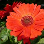 """orange daisy"" by LoraxLady"