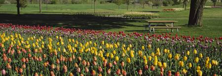 Tulip flowers in a park