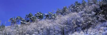 Fresh Snow on Trees Ishikawa Japan