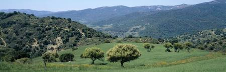 Olive trees on a landscape