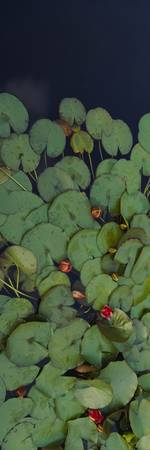 Close-up of water lilies floating in a pond