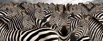 Herd of zebras