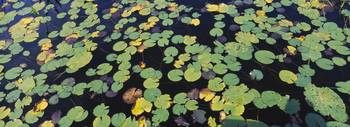 Lily pads floating on water
