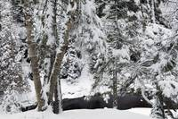 Snow-covered trees along Cascade River