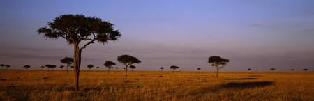Acacia Trees on a landscape