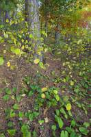 Underbrush growing in red pine forest
