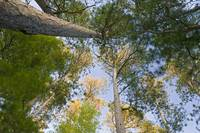 Low angle view of red pine trees growing along La