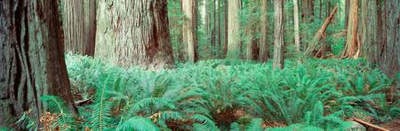 Forest floor w/ferns CA