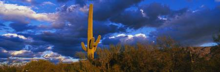 Saguaro Cactus at Sunset AZ