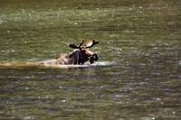 Moose swimming in river