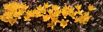 Close-up of Yellow Crocuses (Colchicum autumnale)