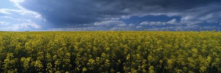 Clouds over a rape field