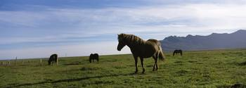 Icelandic horses in a field