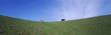 Two cows in a field