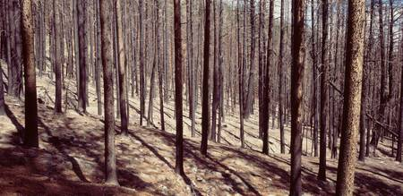 Bare trees in a forest one year after forest fire