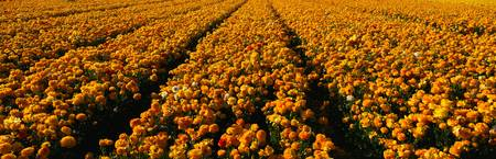 Field of Yellow Ranunculus Flowers CA