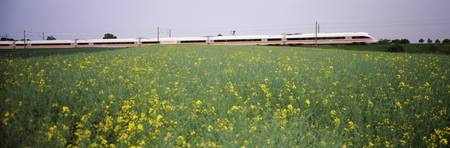 ICE Train passing through oilseed rape (Brassica