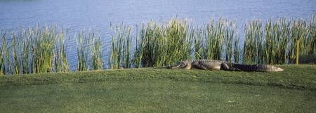 Alligator resting on a golf course