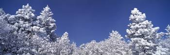Snow covered Pine trees CO